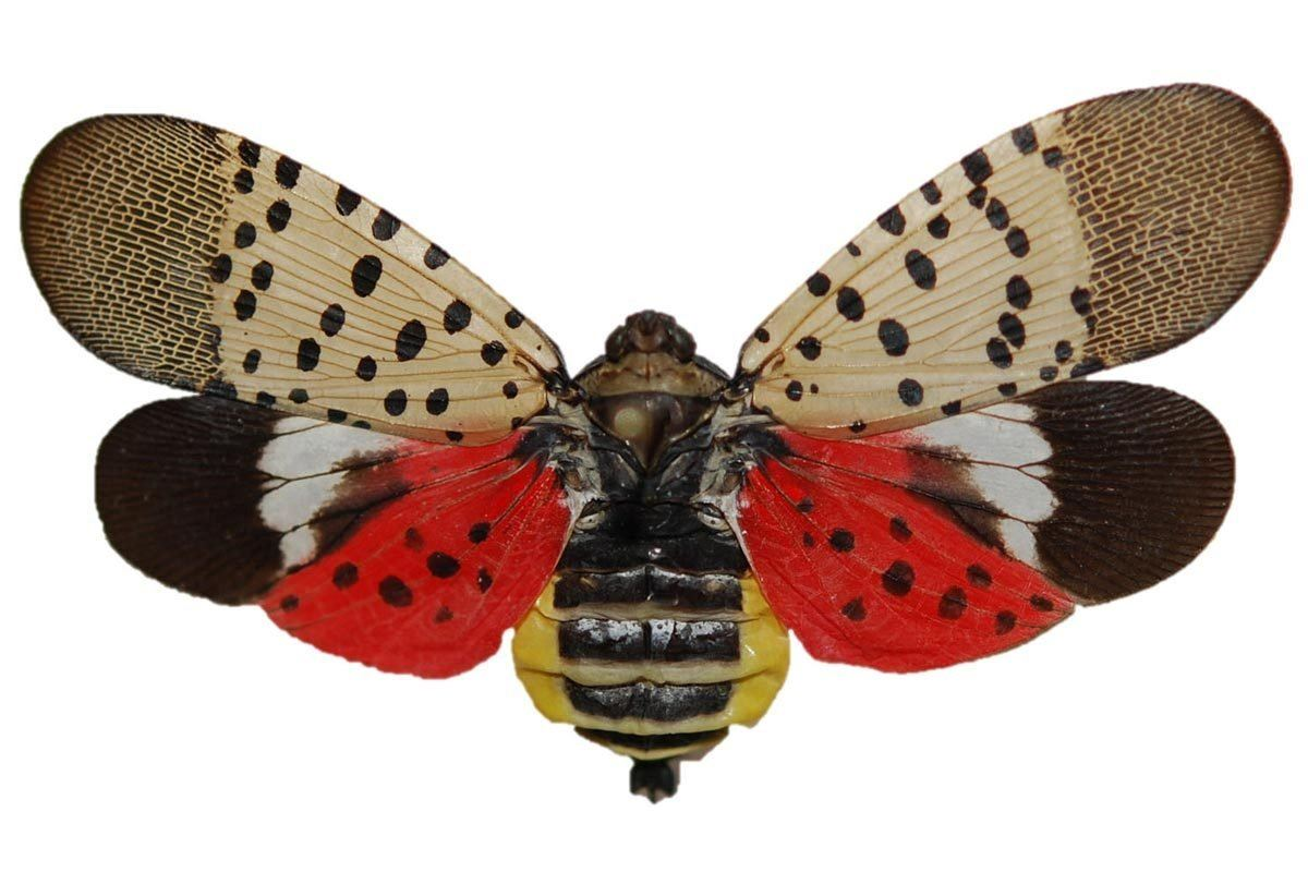 Spotted Lanternfly Adult Photo
